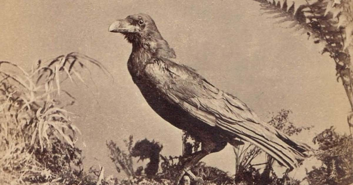 BLOG: Charles Dickens's Raven, Grip by John Culme Image
